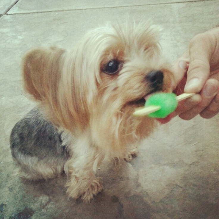 Yorkies love to cool down w. Mountain Dew ice pops