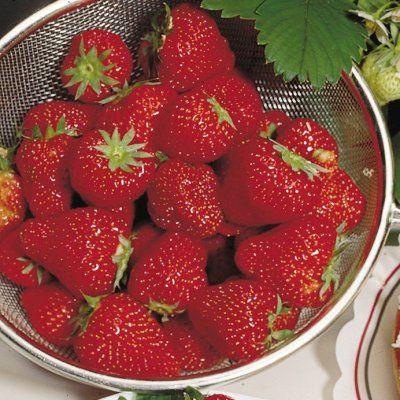 Strawberry 'Sequoia' Plant Care & Growing Information | folia