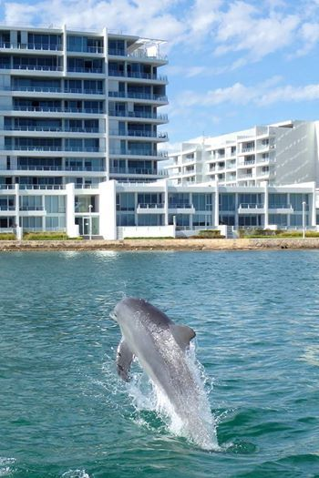 Mandurah dolphin playing in the Estuary