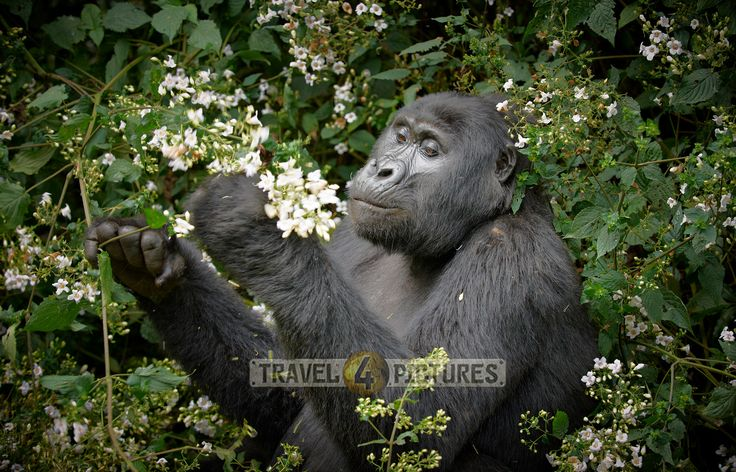 short travelogue with many pictures about our trekking trip to the mountain gorillas of Uganda  … sorry only in German