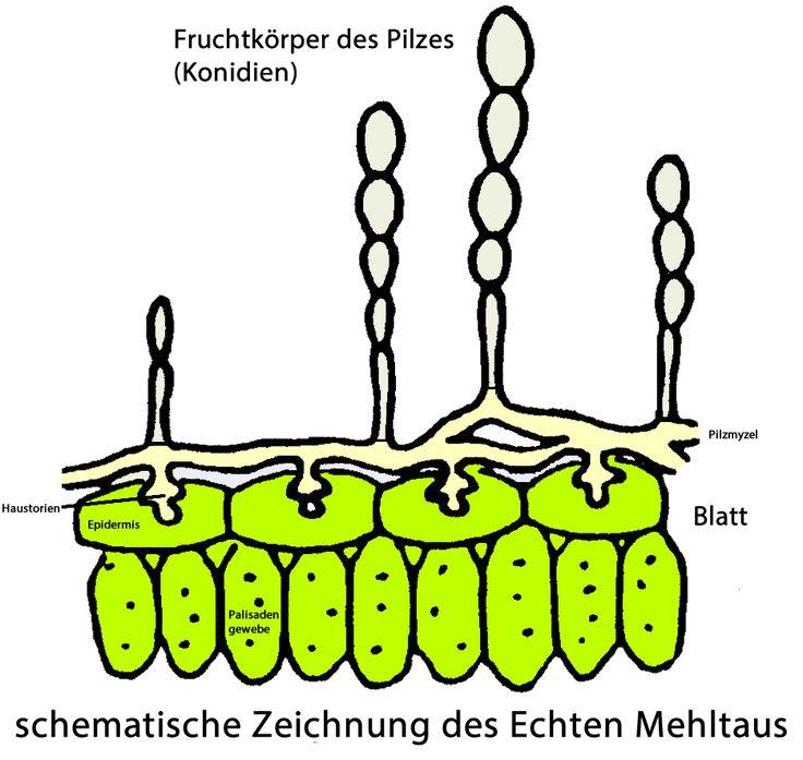 Sukkulenten Krankheiten Mehltau ~ 8 best Pfl Krankheiten images on Pinterest Medical conditions, Plants and Enemies
