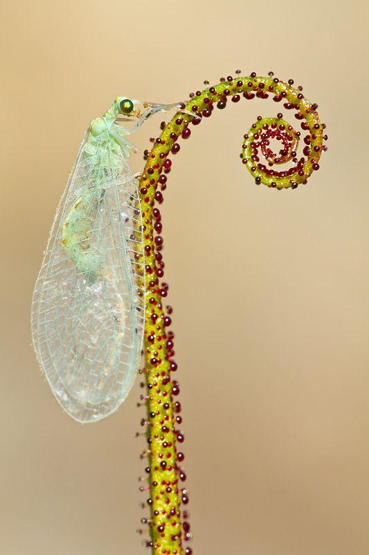 Drosophyllum lusitanicum by Alejiga (Alejandro Jimenez) #Insec6s