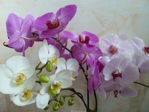 Что делать если орхидея сохнет или засохла?