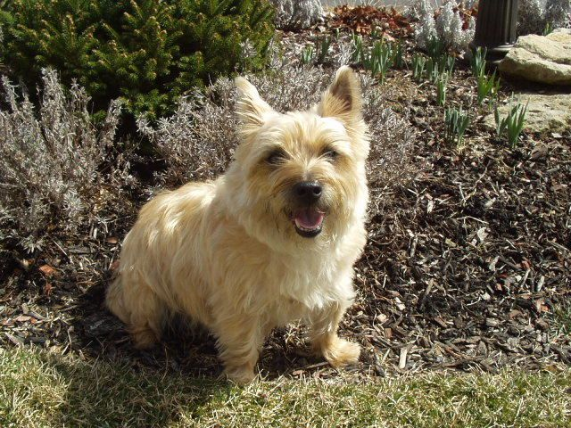 Adopt Tag On Cairn Terrier Dog Adoption Terrier Rescue