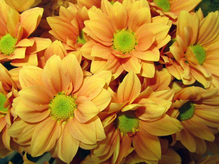 Krysantemum, Chrysanthemum grandiflorum-hybrider syn. Chrysanthemun x hortorum, Asteraceae Kurvblomstfamilien, SNITT/STUE