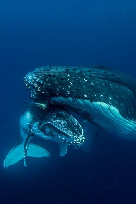 A Humpback Whale ~ With Her Young Calf.