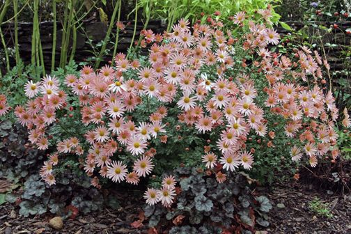 17 images about garden chrysanthemum sheffield pink on for Hardy plants for the garden