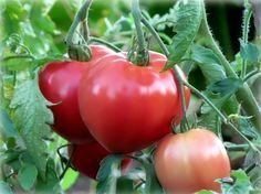 «СУХОЙ ЗАКОН» ДЛЯ ПОМИДОРОВ или метод выращивания без полива — 6 соток