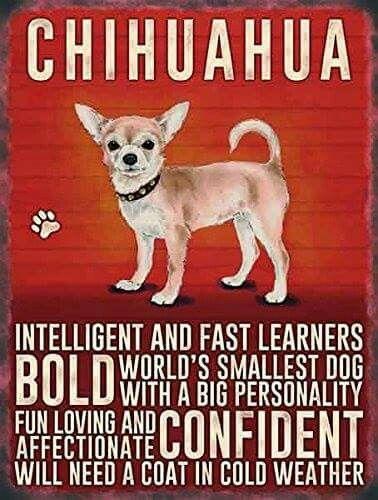 ♥Chihuahua♥ #chihuahuadaily #teacupdogs #teacupchihuahua