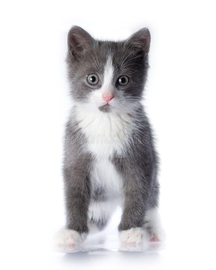 Kitten Small Grey Kitten On A White Isolated Background Affiliate Grey Small Kitten Kitten Background A Grey Kitten Grey And White Kitten Kitten