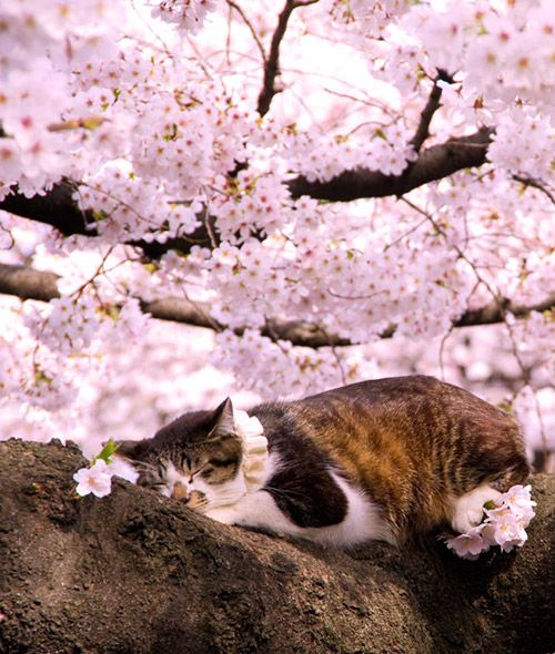 Cat sleeping under Sakura flowers. They always find a sweet place to nap.