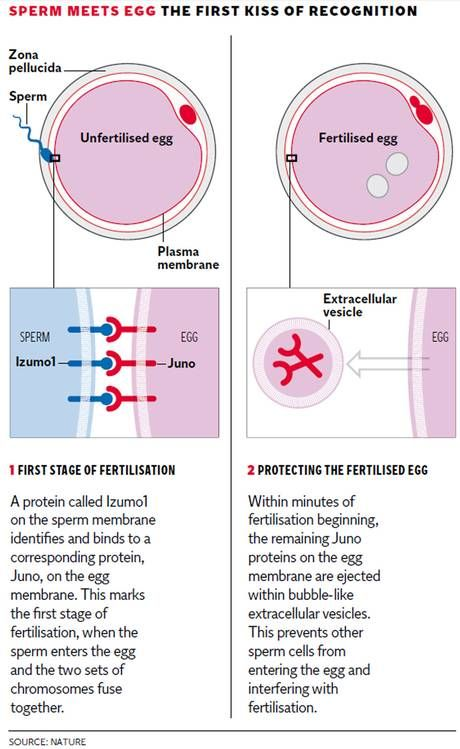 The moment of conception: Scientists isolate protein that governs first contact between egg and sperm - Science - News - The Independent