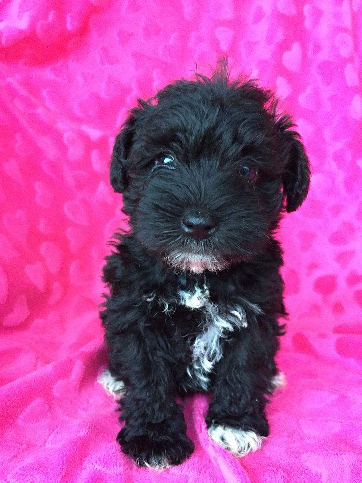 Piper's bayou pups Mini Schnauzer