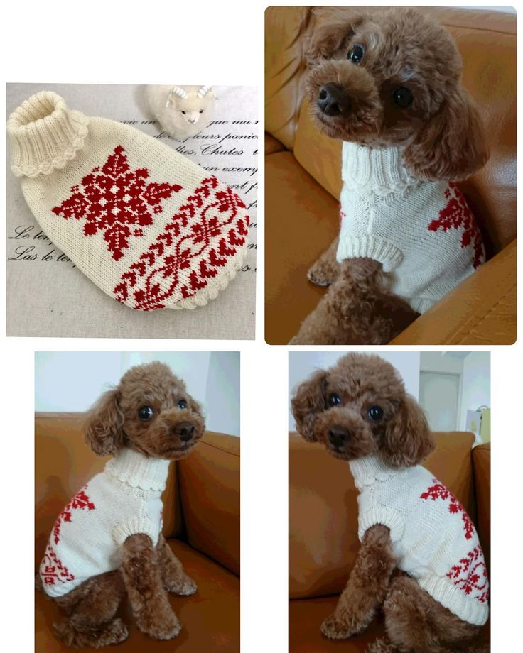 北欧柄のセーター 茶々丸くんママさんから、可愛いお写真が届きました 「どう、僕似合ってるぅ✨⁉️」っていう声が聞こえてきそうなお顔 暑いのに着画をありがとうございました❤️ 寒くなったら、たくさん着てくださいね #犬のセーター #北欧柄 #編み込み模様 #正統派 #イケメンわんこ  #トイプー #トイプードル #ハンドメイド犬服 #DogPeace #inumade