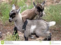 Resultado de imagen para cabras bebes