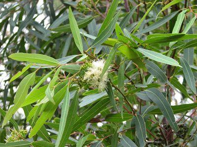 El eucalipto es una planta que se utiliza en medicinas, suplementos y productos para la piel. Tiene propiedades anti-bacterianas y anti-fúngicas, y funciona como un excelente descongestionante además de combatir la inflamación y la infección. Cuándo y cómo usar el aceite esencial de eucalipto: -Para descongestionar las vias nasales, basta con frotar dos gotas sobre el pecho. Al inhalar el aroma la nariz se descongestionará y respirará más fácilmente. -Para utilizarlo como un…