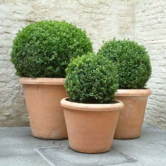 "Shrubs - Buxus ""Box"""