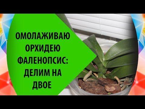 Омоложение Орхидеи Фаленопсис: Делим Орхидею на Две - YouTube