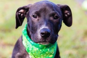 Harper: Black Labrador Retriever, Dog; Seattle, WA