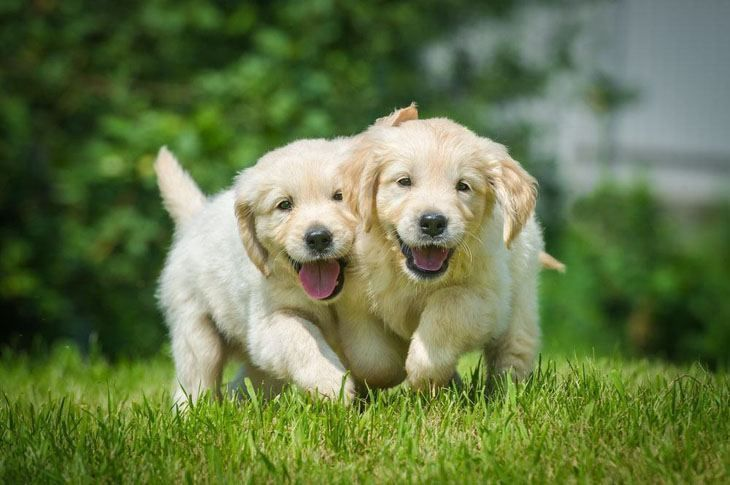 """We're coming to hug and kiss you!""... #GoldenRetriever puppies found on fundogpics.com"