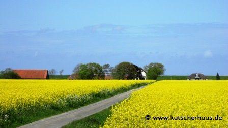 Bauernhöfe umgeben von leuchtende Rapsfelder in Ostfriesland. Preiswerter Urlaub in Ferienhäuser mit Sauna in Holtgast.