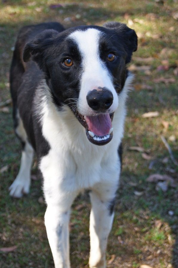 Sam -  Border Collie x Greyhound Mix