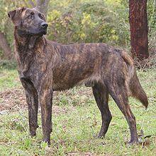 Cursinu - France - Working dog