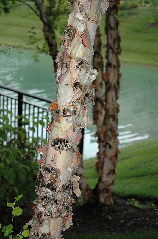 River Birch (Betula nigra) at Bachman's Landscaping