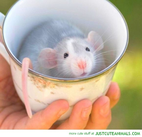 Pet Rat Quotes