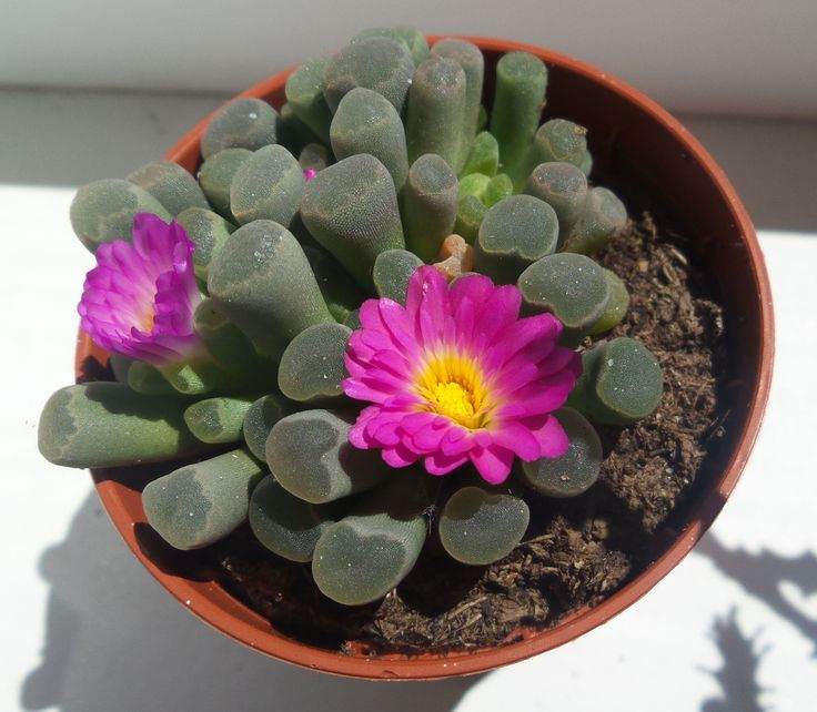 succulent Frithia Pulchra blooming season