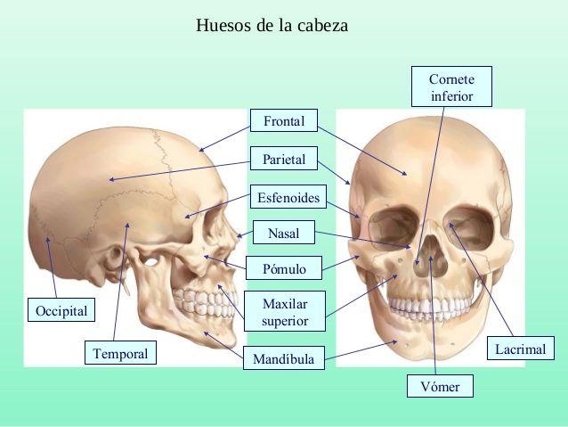 Huesos De La Cabeza Frontal Parietal Esfenoides Lacrimal Pomulo Nasal Mandibulatemporal Occipital Maxilar Huesos De La Cabeza Huesos Dibujos De Huesos