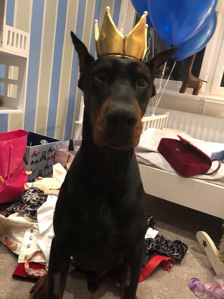 Mr Drago King Life In Sweden Settled In To His Family Really Well Doberman Pdw Https Www Protectiondogs Co Doberman Dogs Family Protection Dogs