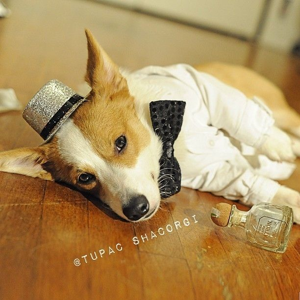 When he's not making music videos, performing for millions of people + dogs, and stuff, Tupac Shacorgi can be found in the club drinking Patron silver.