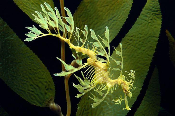 深海生物 リーフィーシードラゴン