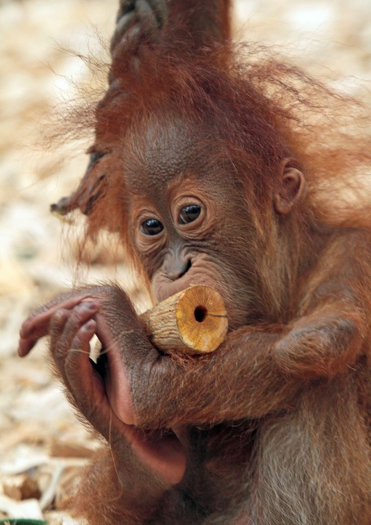 Adorable and Cute Yenko, the Baby Orangutan chewing on some wood at Dortmund Zoo, Germany
