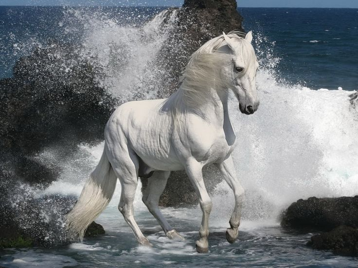 stalion horses Horses White Stallion Free iPad HD