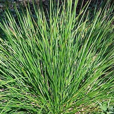 33 best images about native grasses and sedges on for Ornamental grasses that stay green all year
