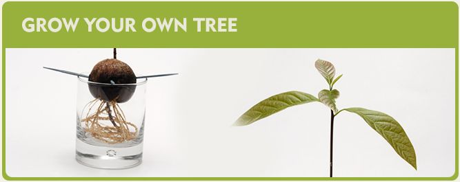 See how to grow your own avocado tree from the seed stage - http://www.californiaavocado.com/