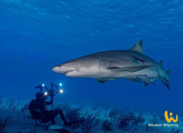 Feb'17:Sharkschool™GrandCay,Bahamas + Tauchsafari MY Dolphin Dream #sharkschool #tauchsafari #liveaboard #dolphindream #bahamas #grandcay #februar #2017 #wirodive #tauchreisen #erlebnisreisen #willweg #sonne #blaueswasser #meer #fische #haie #tigerhai #urlaub #tauchen #schnorcheln #traumurlaub #unvergesslich #touchedbynature