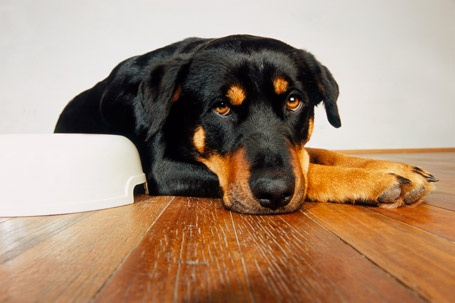 Rottweiler - great dogs!