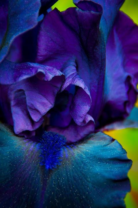 Iris in Deep Purple