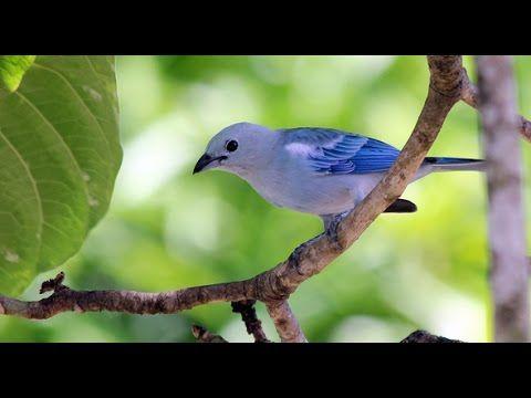 Azulejo de jardín, Thraupis episcopus, tangara azulada, Blue-gray Tanager