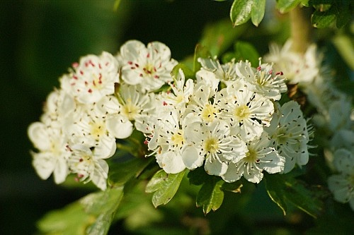 Wilde eetbare planten; meidoorn. Het jonge, groene blad van april is goed te eten. In de herfst komen de rode besjes die melig smaken maar je kunt er prima wijn, gelei of snoepjes van maken.
