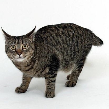 Pixie-bob Cat - http://catbreedsinformation.com/pixie-bob-cat/ For people that are looking for a medium sized, short coated cat breed, this is the cat for them. The Pixie-bob Cat is a popular cat breed originally from United States.The Pixie-bob Cats are said to have quite the personality. Their owners have said that they are often loving andsociable.Owners can expect to spend many years with their Pixie-bob Cat. They are said to live between 10 and 14 years!If you think t