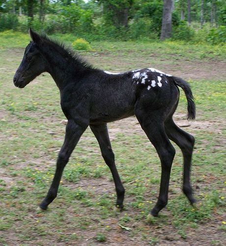 Black appaloosa foal
