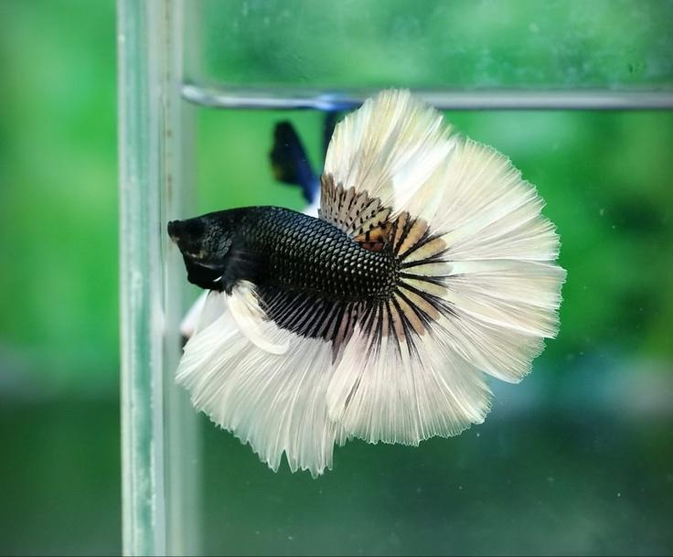 beta poisson aquarium 70 best images about poisson aquarium discus on