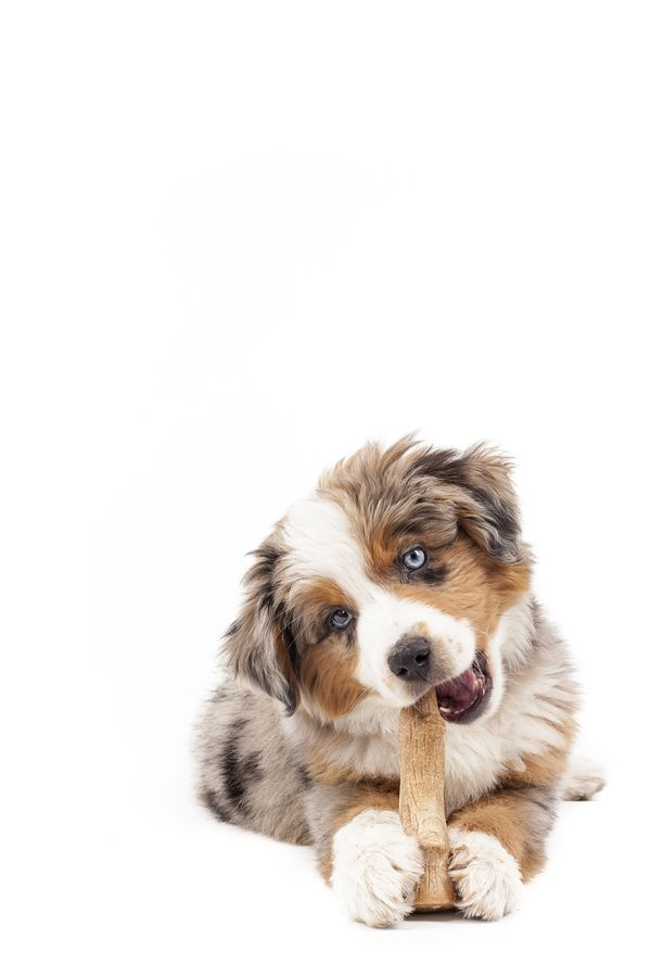 THE most beautiful and perfect dog anyone could ever own. Australian Shepherds.