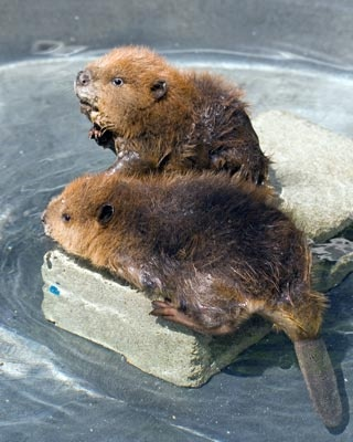 Baby beavers analyzing the landscape--Guys, this is seriously the cutest thing ever. Seriously. I mean just look at them!