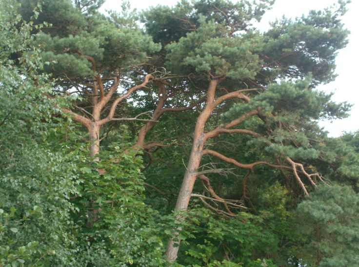 Pines at a Beach near Båstad in Sweden.