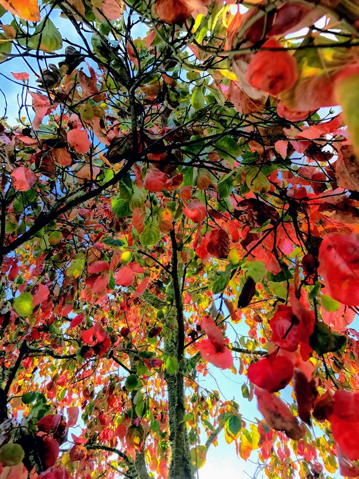 Autumn is here (a riot of colours) This is a photo I took this morning. This tree looked amazing.  #autumn #tree #trees #colours #colour #deadleaves #fall #color #colors #red #yellow #green #sky #treeshot #photo #photograph#autumnleaves#autumncolours #autumcolors #autumntree #stusroadtrips #myshot